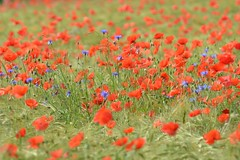 Mohn- und Kornblumen - 2012-06-09 (andreas.thomet) Tags: blatter 122012 altersnachmittageptingen16