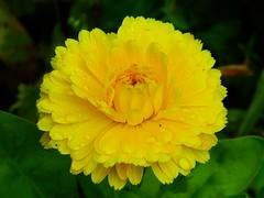 Raindrops On Yellow Daisy (careth@2012) Tags: daisy raindrops waterdroplets simplyflowers