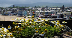 Castle Daisies (dangerousdavecarper) Tags: uk flowers sea wild man castle daisies peel isle manx mayweed