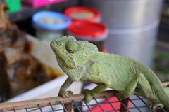 tsk (Enrico Casagni) Tags: canon colore market marocco marrakech souk chameleon mercato viaggio camaleonte eos50d jamaaelfnaa 1585isusm