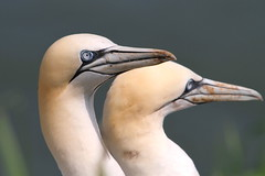 Gannet, RSPB Bempton Cliffs, East Yorkshire (Andy_Hartley) Tags: rememberthatmomentlevel1 rememberthatmomentlevel2 rememberthatmomentlevel3