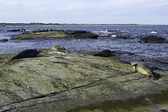 Seals, North Ronaldsay, Orkney, Scotland (bm^) Tags: uk light sea sun colour tourism nature grass licht scotland sand orkney nikon raw unitedkingdom zee seal gb seals gras zon zand reizen schotland kleur zeehond toerisme zeehonden planart1450 d700 planar5014zf  bestandstype northdonaldsay