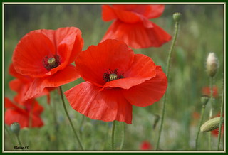 Poppies ... Quite a significant Remembrance flower ..