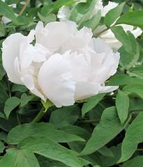 Peony (sandy richard) Tags: gardens bronx nybg newyorkbotanicalgarden sandyrichard sandrarichard