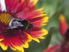(Varvara_R) Tags: red summer flower colour macro insect bee coth supershot flickraward diamondclassphotographer flickrdiamond naturethroughthelens mygearandme mygearandmepremium ringexcellence chariotsofartistslevel1 sunrays5