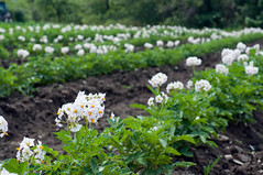 Our potato field (MiFleur...Happy New Year 2017) Tags: new earth farm farming potato organic agriculture permaculture growingfood