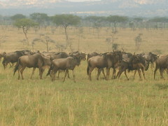 Wildebeest standing before Acacia Trees (Real Africa) Tags: africa wild tanzania kenya running safari herd grazing wildebeest wildebeestmigration safarianimal migrationmasimara
