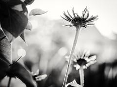Where giants go to dance. (von8itchfisk) Tags: flower blackandwhite monochrome fly giants silver nature mygarden garden outside battisford vonbitchfisk