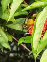 Sunbird on Ixora (Robert-Ang) Tags: sunbird ixora chinesegarden singapore olivebackedsunbird