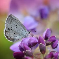 Butterfly's Heaven (ursulamller900) Tags: bluling butterfly wisteria glyzinie helios442 makroringe bokeh
