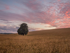 Halcyon (Damian_Ward) Tags: damianward photography damianward hertfordshire herts decorum tree lone field countryside beech nettleden wheat sunrise