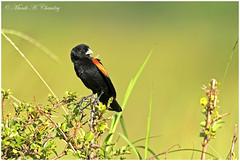 The Widow Bird! (MAC's Wild Pixels) Tags: thewidowbird male fantailedwidowbird goldenlight lifer wildbird wildafrica wildanimal birdsofeastafrica colourfulbird beautifulbird birdwatcher maasaimaragamereserve kenya macswildpixels