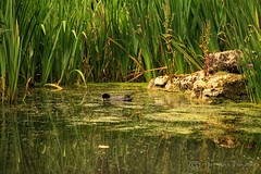 Cool coot! (Jay Bees Pics) Tags: coot waterfowl pond wildlife hopton 2016 magicunicornverybest ngc coth npc