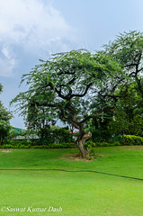 Crooked yet beautiful (Saswat Kumar Dash) Tags: nature tree chandigarh garden club beauty exceptional crooked