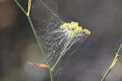 Telaraa (esta_ahi) Tags: olrdola peneds barcelona spain espaa  telaraa teranyina fonoll hinojo foeniculumvulgare umbelliferae apiaceae flor flora flores silvestres