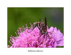 P7217356 (Roberto Silverio) Tags: macro flower olympuscamera zuikolens zuikodigital open flikr