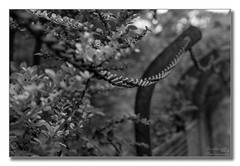 Chain fence (HFF) (Descended from Ding the Devil) Tags: bw dof fencefriday hff nationaltrust powyscastle sonya7mkii sonyalphadslr wales welshpool beyondbokeh blackandwhite bokeh chain depthoffield fence fullframe mirrorless monochrome photoborder selectivefocus shrubs