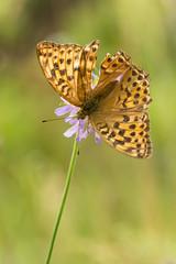 Silver-washed Fritillary (Tadas Telksnys) Tags: lithuania lietuva nature insect butterfly flower bloom flora macro closeup sigma105mmf28exdgoshsm silverwashedfritillary didysisperlinukas argynnispaphia meadow outdoor