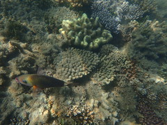 Rainbow fish Fitzroy Island (dracophylla) Tags: fitzroyisland greatbarrierreef queensland australia