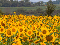 20160723-IMG_0023 (MandoCatDSM) Tags: sunflowers badger creek wildflowers sunrise