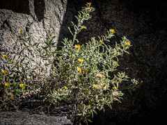 Basking in the sun (Carolannie: out and about, not lost yet) Tags: skipper aster hairyfalsegoldenaster hairygoldenaster heterothecavillosa heterotheca asteraceae boulderco bouldercanyontrailboulderco bouldercountyco colorado fall latesummer autumn sonyrx100m2 lightroom lightroompresets vignette