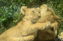 Asiatic lion cubs (mellting) Tags: djurparker eskilstuna parkenzoo platser flickr instagram matsellting mellting nikkor5018 nikon nikond7000 obloggad sverige sweden asiaticlion asiatisktlejon lioncubs pantheraleopersica zoo animal mammal bigcatbaby