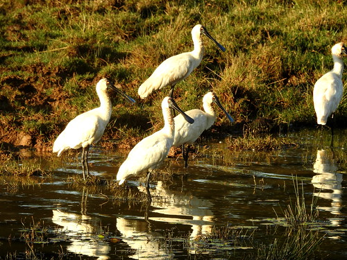Spoonbills at Childers