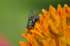 Common Green Bottle Fly on Butterfly Weed (CEstevez16) Tags: butterflyweed macro fly greenbottle