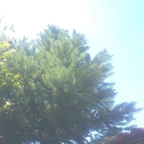 #pinheiro