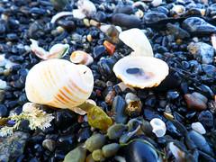 Seashells on rocky beach (jo.elphick) Tags: seashells beach sunset seaweed australia darkbeach nsw
