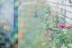 FH000005 (Cara J Salvaggio) Tags: olympusom1 superia200 fujifilm 35mm filmphotography 50mm multiexposure nature holographic technical colorfilm plantsonfilm film