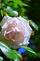 (vanessa_b._fotografie) Tags: pic photo moment blte blume blhen rose ros phoo