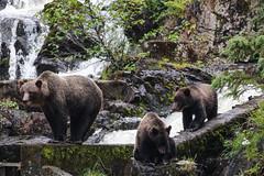 IMG_6531_1 (kalday) Tags: chichagofisland alaska pavlofriver brownbear grizzlybear kodiakbear