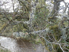 at the Girdle Stanes (jackanol) Tags: lichen moss branches tree