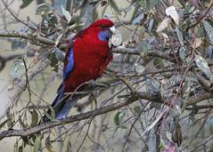 Crimson Rosella 2016-08-18 (_MG_2975) (ajhaysom) Tags: crimsonrosella platycercuselegans woodlandshistoricpark greenvale melbourne australia australianbirds canoneos60d sigma150600