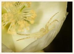 Crab Spider (gauchocat) Tags: tohonochulpark tucsonarizona