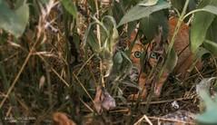 Occhi Felini (HunterProduction) Tags: gatti natura fotografia wild plants piante green cespuglio occhi felini tiger cats