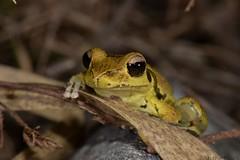 Northern Stoney Creek Tree Frog (Litoria jungguy) (shaneblackfnq) Tags: northern stoney creek tree frog litoria jungguy shaneblack julatten fnq far north queensland australia tropics tropical amphibian