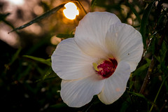 Wild Texas Hibiscus (hickish_one) Tags: hibiscus texas riverbottom morning sunrise