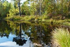 Hstdag vid trsket (evisdotter) Tags: autumn hst trsk swamp forest skog water light colors reflections trees grass grs nature sooc sunny afternoon