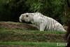 Tigre blanc - Zoo La Fleche - 20160817 (0917) (laurent lhermet) Tags: sel55210 zoo zoodelafleche tigre tigreblanc