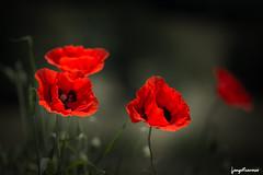 Red red red... (leeleeque) Tags: acontretemps angetraverso fleurs florefrance flore flowers fleur flower cocliquots red nature naturelle canon canon600d sigma sigm105macro summer t bokeh italie italia italy lumire light macro photographie soleil