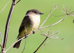 eastern phoebe at Ludwig Preserve IA 854A3116 (lreis_naturalist) Tags: eastern phoebe ludwig preserve winneshiek county iowa larry reis