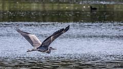 9Q6A6811 (2) (Alinbidford) Tags: alinbidford alancurtis brandonmarsh kingfisher greyheron heron kestrel
