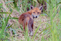 Fox (parry101) Tags: cardiff whitchurch forest farm south wales fox foxes animal animals