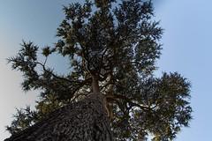 Cedar (Graham Dash) Tags: cf16 unusualangles painshillpark painshill cobham surrey trees cedartrees cedars
