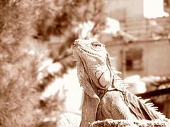 Yeimo, la iguana; tomando el sol. (Juan Antonio Xic Eseyosoyese) Tags: yeimo la iguana verde tomando el sol amigo de casimiro perro azotea mèxico mascota pensando etcétera canon powershot sx170is barrio pobre