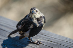Pidgey V (misterperturbed) Tags: bethanybeach delaware bird
