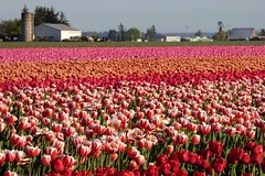 Skagit Valley Tulip Festival 2016 #6 (Aneonrib) Tags: washington state tulips mount vernon wa sun sunset flowers roozengaarde april tulip festival annual skagit valley spring northwest county evening landscape field flowerbed plant flower outdoor red