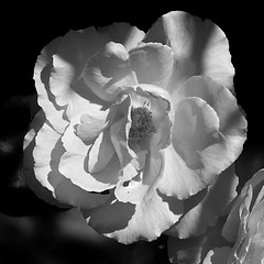 White Rose (Richie Rue) Tags: nikond300 white rose flower petals bloom mono monochrome blackandwhite nature garden cultivated